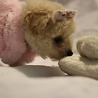 Toy Poodle Puppy - Finds Slipper by Debbie-anne