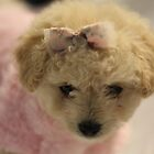 Toy Poodle Puppy - Just Too Cute by Debbie-anne