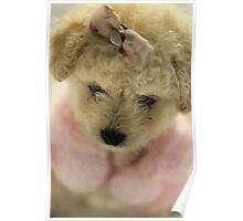 A toy Poodle or a teddy bear Poster