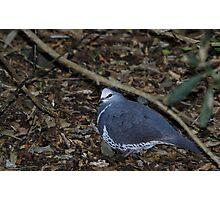 Wonga Pigeon Photographic Print