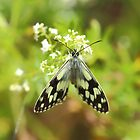 Marbled WHite Buterfly (Melanargia galathea) by Rumyana Whitcher