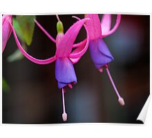 Fuchsia Billy Poster