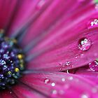 Purple Osteospermum Macro by Astrid Ewing Photography
