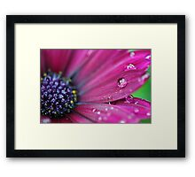 Purple Osteospermum Macro Framed Print