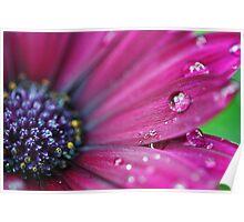 Purple Osteospermum Macro Poster