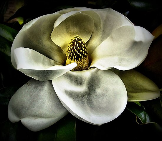 Painted Magnolia by SuddenJim