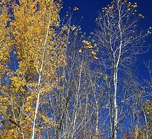 Fall Birches 11 by marybedy