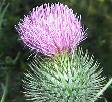 scottish thistle Flower by ack1128