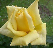 Yellow roses, delicate roses by Ana Belaj