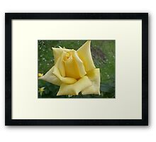 Yellow roses, delicate roses Framed Print