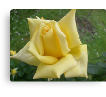 Yellow roses, delicate roses Canvas Print