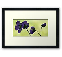 Wild Geranium - Morning Light Framed Print