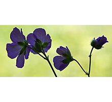 Wild Geranium - Morning Light Photographic Print
