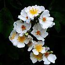 White Wildflowers by Kathleen Stephens