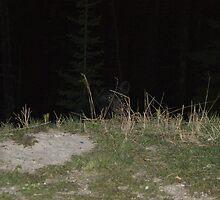 Black Bear Encounter by Barrie Daniels