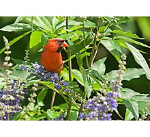 Cardinal Among the Texas Lilacs Photographic Print