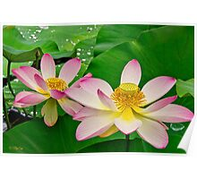 Two Lotus Blossoms Poster