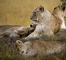 Lion's Awekening by Henry Jager