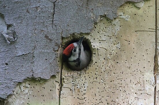 Woody woodpecker by Steve Adams