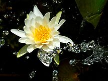 watered lily by GuyAmazed