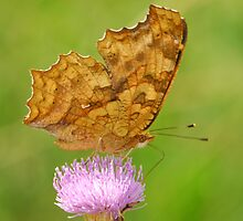 nymphalidae with thistle by davvi