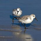 Sanderlings on the Beach by Lightengr
