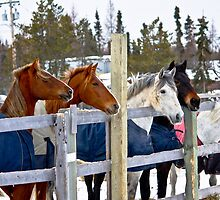 Horses in a row by Darren Langlois