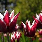 Tulips 7 by photonista
