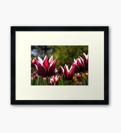 Tulips 7 Framed Print