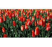 Tulips 11 Photographic Print