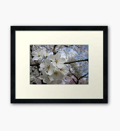 Cherry Blossoms 2 Framed Print