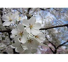 Cherry Blossoms 2 Photographic Print