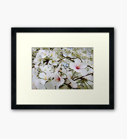 Cherry Blossoms 5 Framed Print