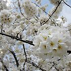 Cherry Blossoms 6 by photonista