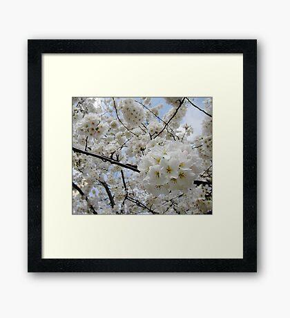 Cherry Blossoms 6 Framed Print