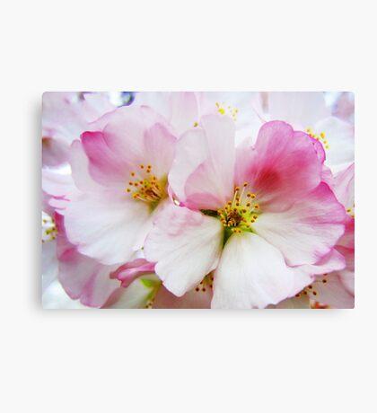 Cherry Blossoms 8 Canvas Print