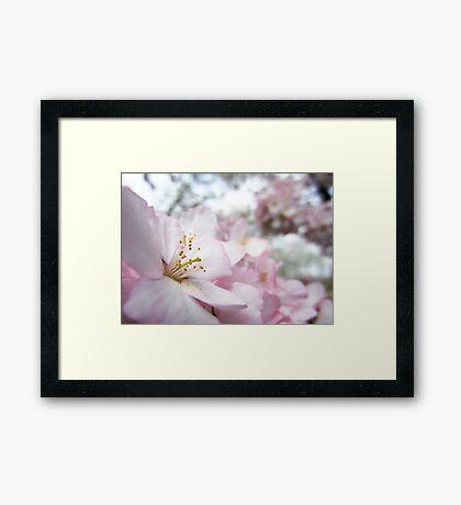 Cherry Blossoms 9 Framed Print