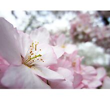 Cherry Blossoms 9 Photographic Print