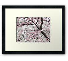 Cherry Blossoms 10 Framed Print