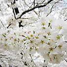 Cherry Blossoms 12 by photonista