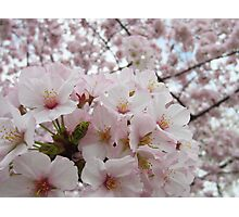 Cherry Blossoms 13 Photographic Print