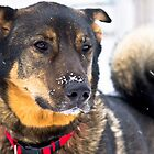 Snow on my nose by Darren Langlois