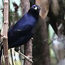 Satin Bowerbird (Male) by triciaoshea