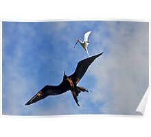 Frigatebird Chasing Tern Poster
