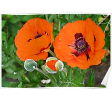 Vibrant Poppies Poster