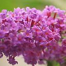 Butterfly Bush by Lorelle Gromus