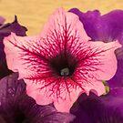 Pink Petuna by DPalmer