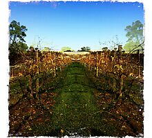 View through the grapevines Photographic Print