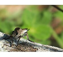 Robber Fly~2 Photographic Print