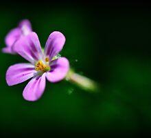 Pink Herb Robert Wildflowers by MissDawnM